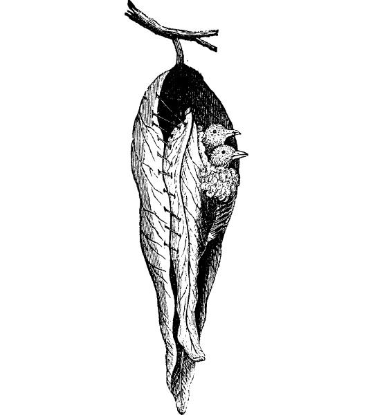 warbler nest seamstress vintage engraving