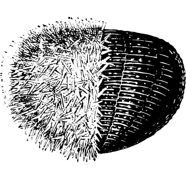 urchin or sea urchins vintage
