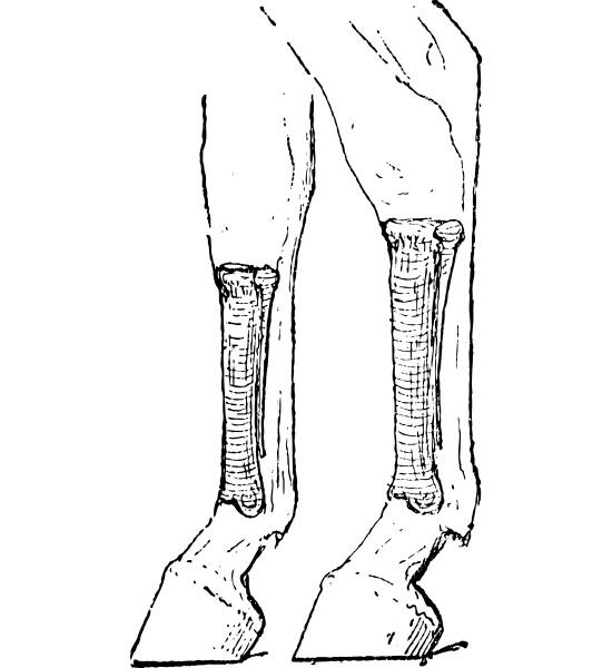 horse metacarpus and metatarsus bones vintage