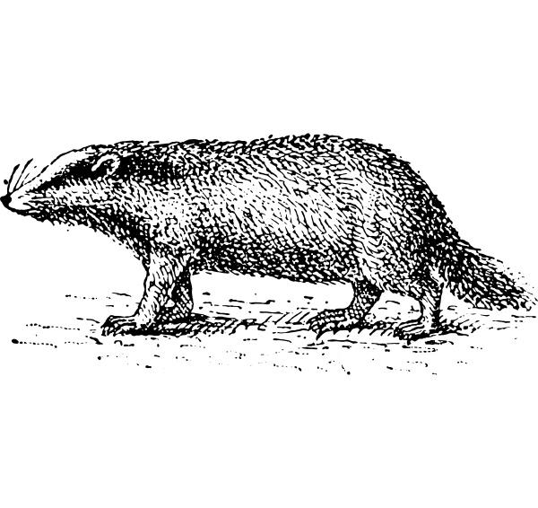 badger vintage engraving