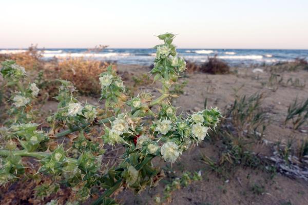 prickly saltwort or prickly glasswort