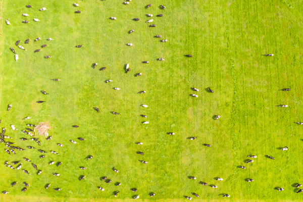 aerial view of cows grazing at