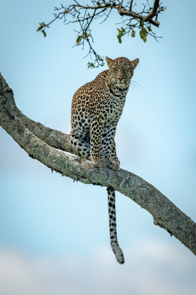 leopard sits on diagonal branch facing