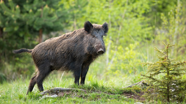 dominant wild boar displaying on a
