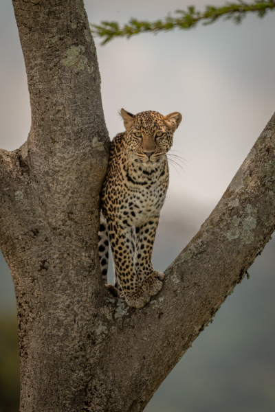 leopard stands watching camera in tree