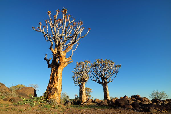 quiver tree landscape namibia