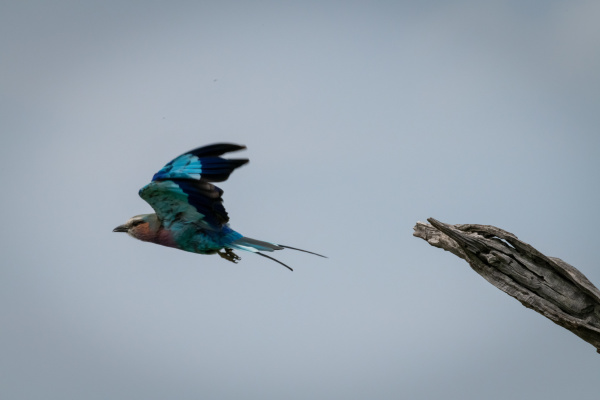 lilac breasted roller takes off from