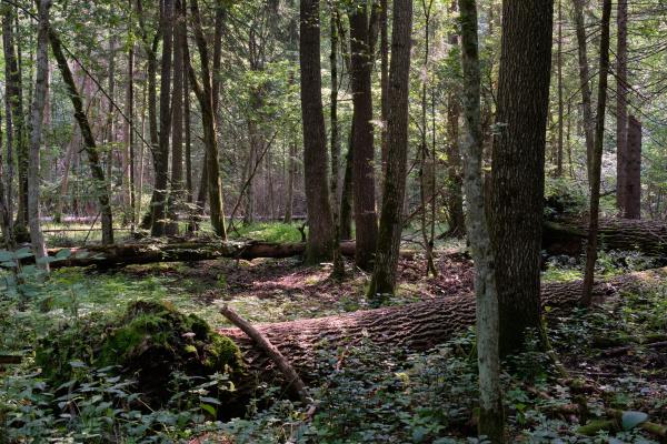frash alder tree mixed forest in