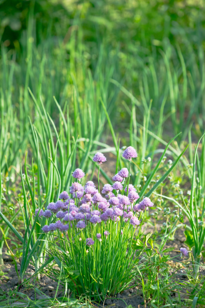 blossoming chive