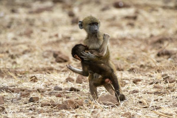 chacma baboon papio ursinus