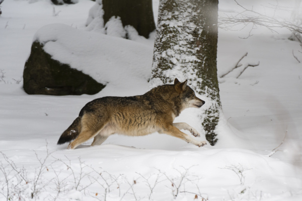 gray wolf canis lupus running in