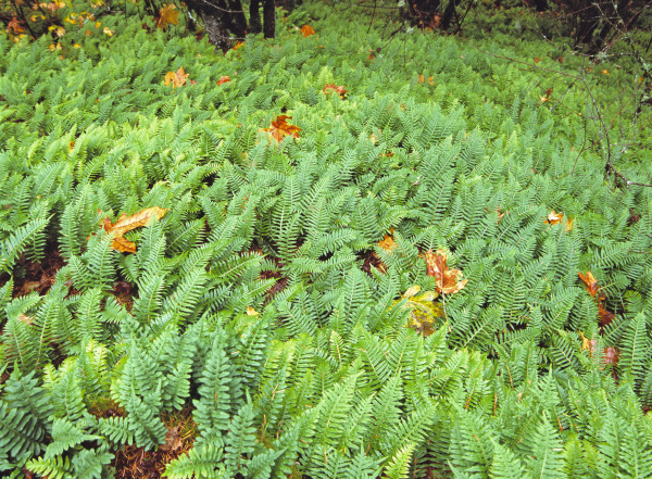 usa oregon ellowah falls ferns flourish
