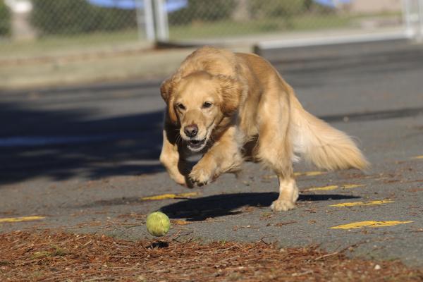 golden retriever running hard chasing tennis