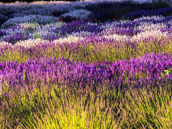 usa washington state sequim lavender field