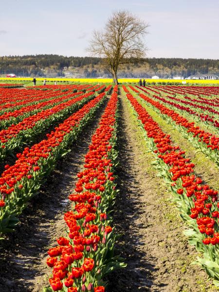 tulip fields in bloom
