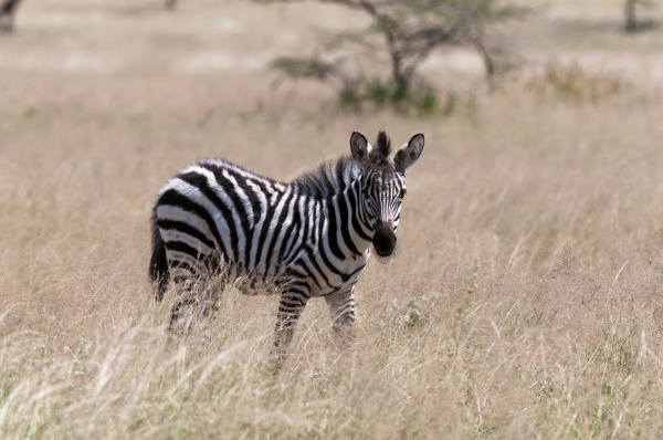 common zebra equus quagga samburu kenya