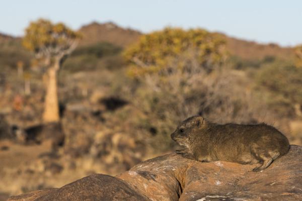 namibia a juvenile rock hyrax procavia