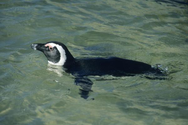 african penguin spheniscus demersus swimming cape