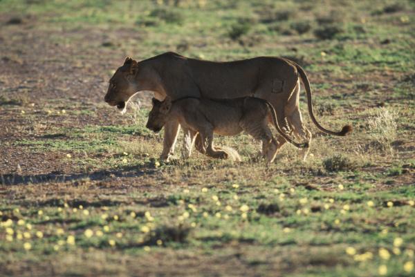 south africa kalahari gemsbok national