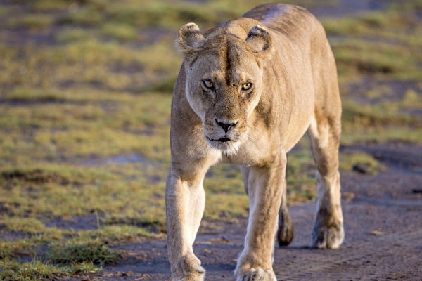 africa tanzania serengeti lion panthera leo