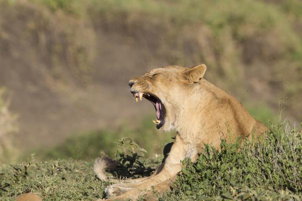 female lies in grassy foliage yawning