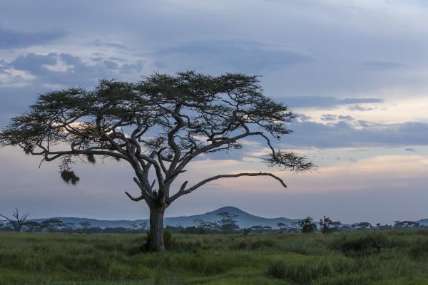 landscape of large acacia tree