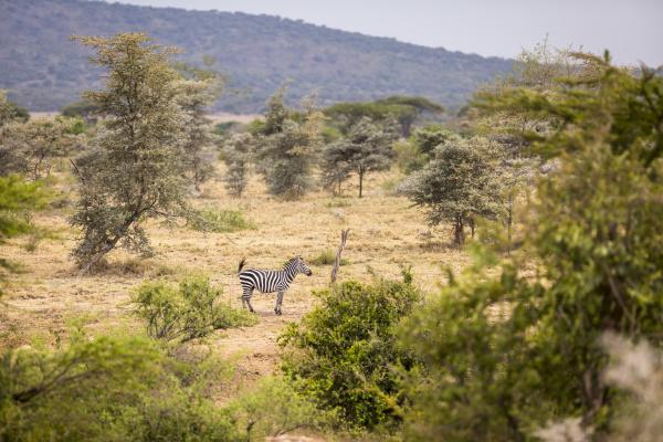 solo zebra in the open near