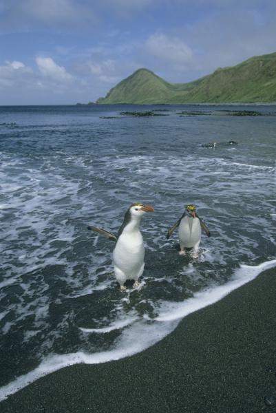 royal penguin eudyptes schlegeli returning from