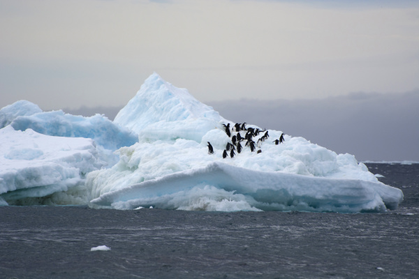 antarctica brown bluff adelie penguins pygoscelis