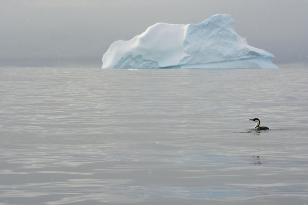 antarctica charlotte bay antarctic shag phalacrocorax