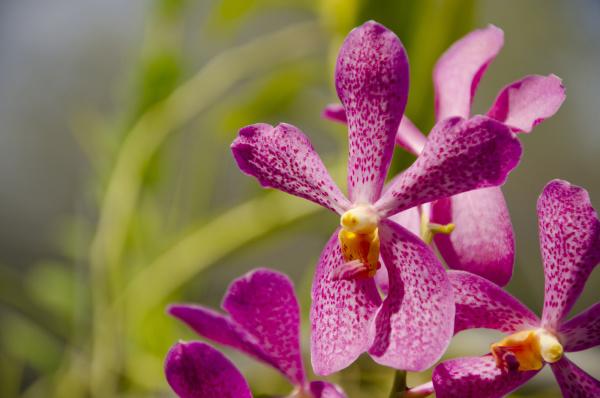 australia northern territory darwin jennys orchid