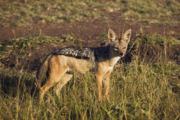 black backed jackal canis mesomelas masai
