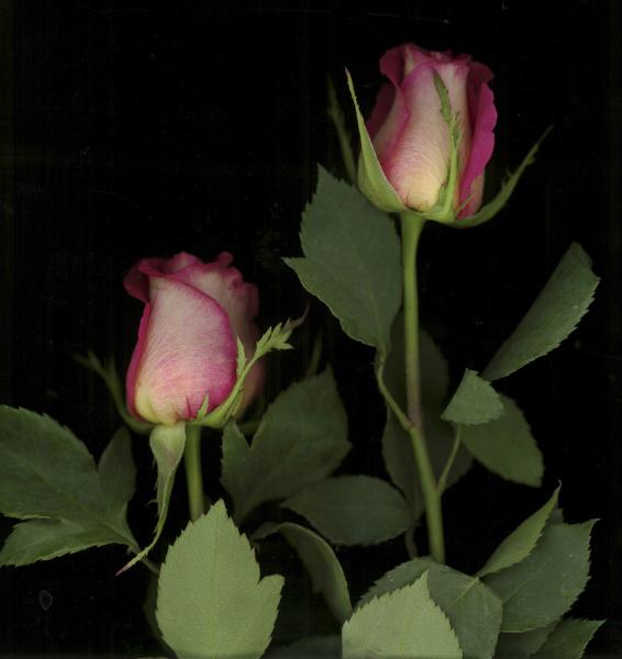 ombre tea rose on black background