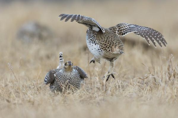 sharp tailed grouse territory dispute