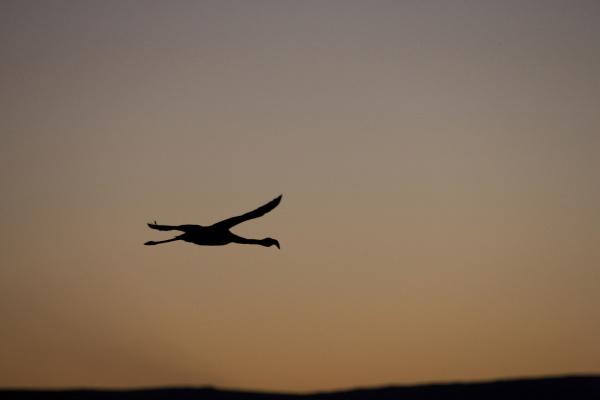 a chilean flamingo in flight over