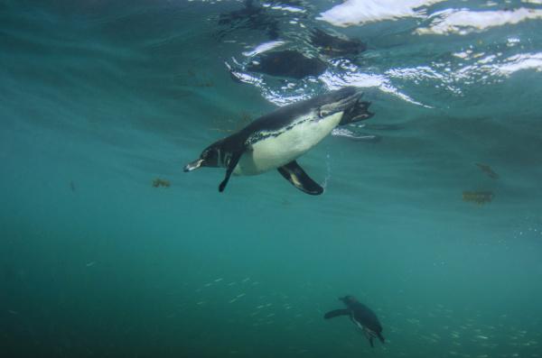 galapagos penguin spheniscus mendiculus galapagos islands