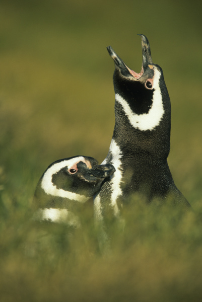 magellanic penguins spheniscus magellanicus parent and