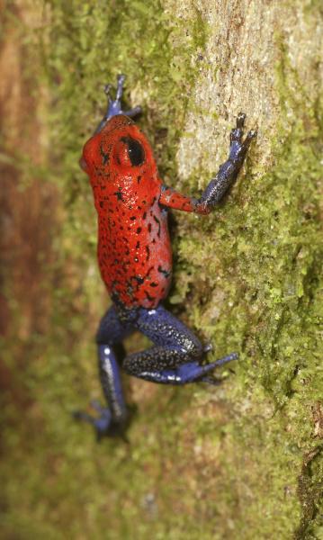 strawberry poison dart frog dendrobates pumilio