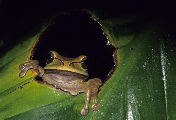 frog smilisca phaeota sitting in leaf