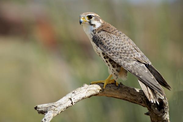 the prairie falcon falco mexicanus is