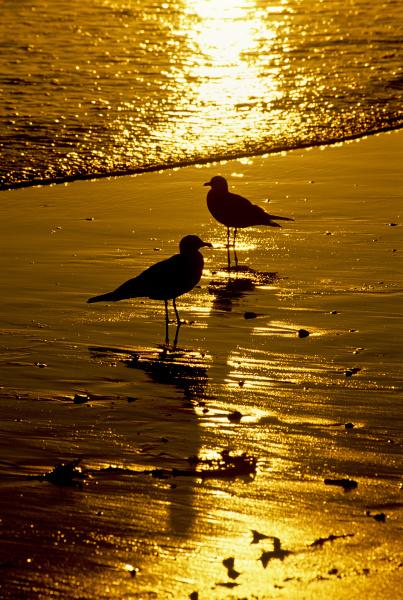 usa california seagulls
