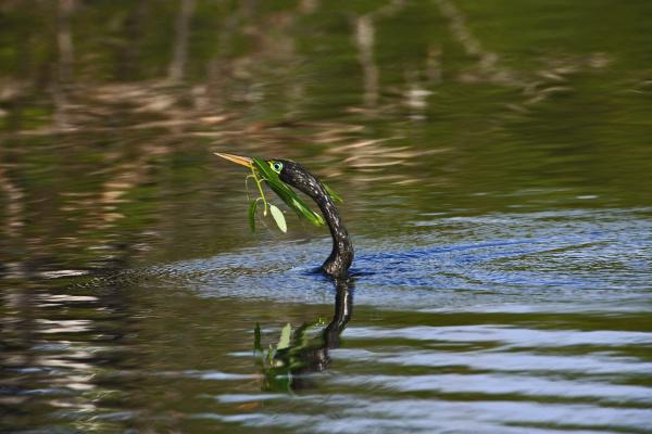 male anhinga in breeding plumage swimming