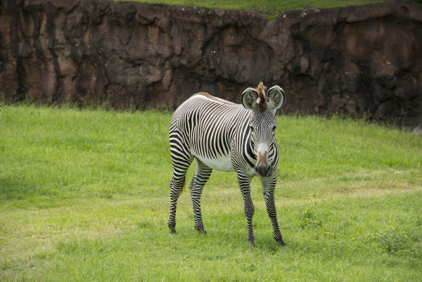 standing zebra with food in mouth