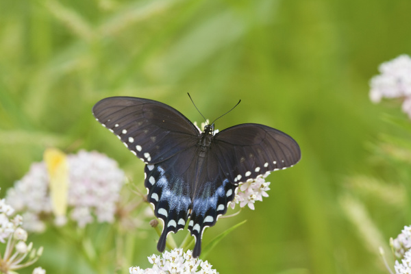 spicebush swallowtail butterfly papilio troilus on