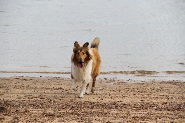 puppy collie on the beach pet
