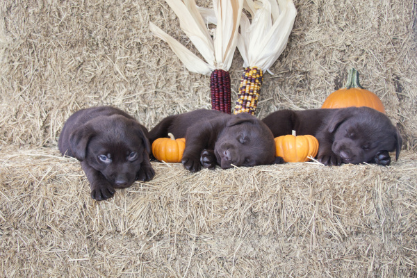 chocolate labrador retriever puppies sleeping pr