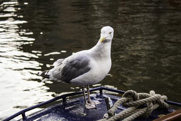 seagulls in amsterdam
