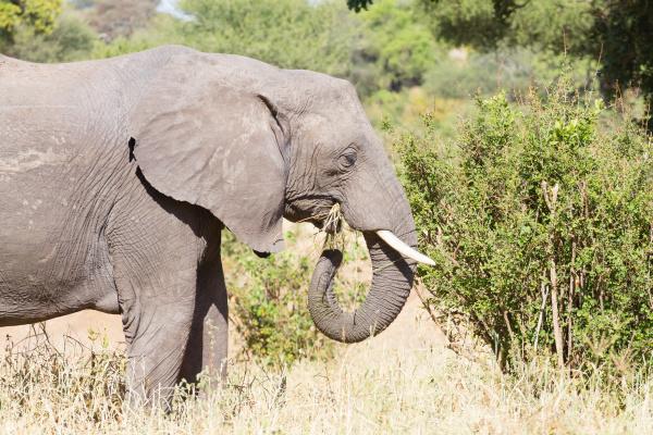 elephant close up tarangire national park