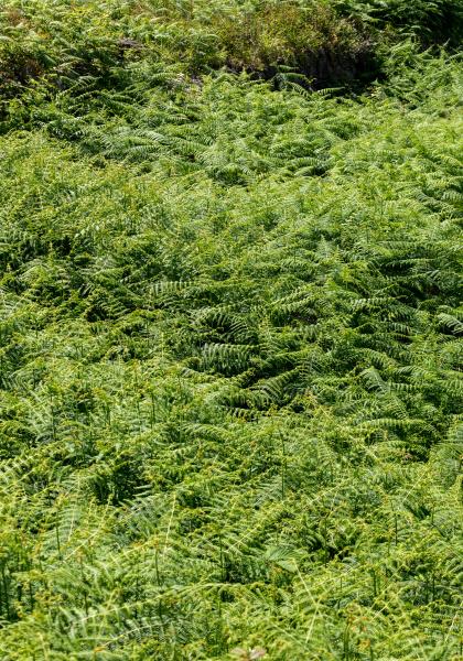 hay scented fern dennstaedtia punctilobula on