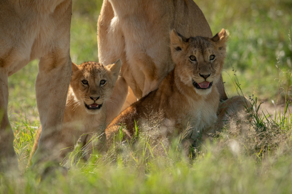 lion cubs sit in grass by